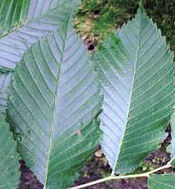 Slippery Elm Herb